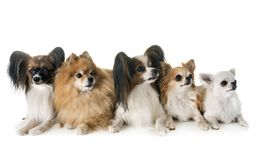 Little dogs in studio stock image
