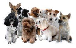 Little dogs. Group of little  dogs on white Royalty Free Stock Photo