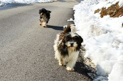 Little dogs on the road. Two little dogs on the road stock image