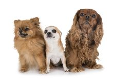 Little dogs in studio royalty free stock image