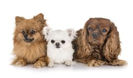 Little dogs in studio in studio royalty free stock photography