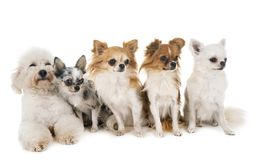 Little dogs in studio stock photo