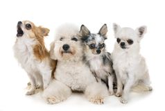 Little dogs in studio royalty free stock images