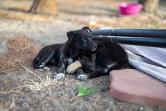 Little dogs. Two little black dogs resting Stock Photos