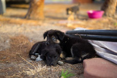 Little dogs. Two little black dogs resting Stock Image