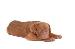 Little dogue de bordeaux Royalty Free Stock Image