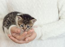 Little domestic cat in girls hands. Over knitting wool pullover. Close up. Selective focus royalty free stock photos
