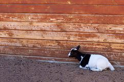 Little domestic goat laying on the ground in farm. Little domestic goat laying on the ground in farm Stock Image