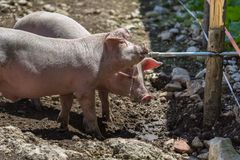 Little Domestic Pigs Quenching their Thirst from Pipe in a Farm Royalty Free Stock Image
