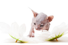 Little Don sphynx kitten with camomiles Royalty Free Stock Photos