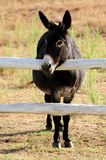 Little Donkey Royalty Free Stock Photography