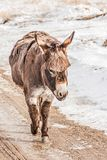 Little Donkey with Bangs. Precious little donkey with bangs walking along a dirt road in winter royalty free stock photo