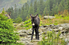 Beautiful little donkey on high mountains Royalty Free Stock Photos