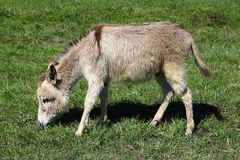 Little donkey eating grass on green meadow Royalty Free Stock Image