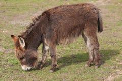 little donkey feeding Stock Photos