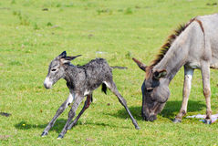 Little donkey first step. Just born little donkey first step Royalty Free Stock Image