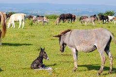 Little donkey lying on pasture Stock Photos
