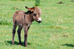 Little donkey on pasture Stock Images