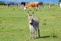Little donkey on pasture Stock Photography