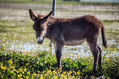 Little donkey. Surprised by a camera Stock Photo