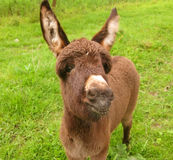 Little donkey Royalty Free Stock Photo