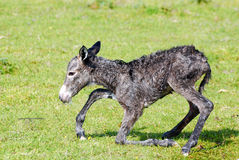 Little donkey trying his first step. Just born little donkey trying his first step Royalty Free Stock Images