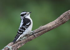 Little Downy Woodpecker Stock Images