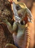 Little Dragon. Boyd\'s Rainforest Dragon. Daintree Enviroment Centre Stock Photography