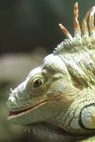 Little dragon. A small iguana, in the sea museum, in Genova, Italy stock photos