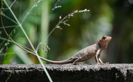 Little Dragon. Lizard in nature, Royalty Free Stock Photos