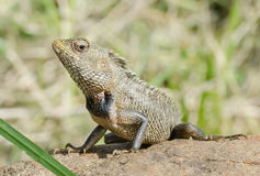 Little Dragon. Lizard in nature, Stock Photo