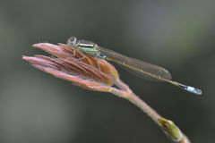 Little Dragonfly Royalty Free Stock Photo