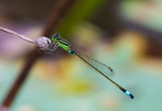 The little dragonfly perched Stock Images