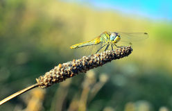 Little dragonfly Stock Image