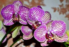orchid violet Royalty Free Stock Photography