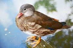 Little duck. A little duck sitting near water Stock Photos