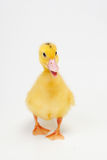 Little duck. On white background stock photos