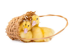 Free Little Duck Royalty Free Stock Image - 30037806