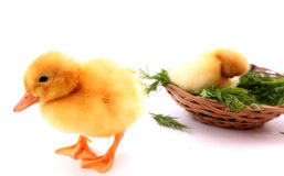 Little duck Royalty Free Stock Photos