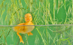 Little duck floating in water Stock Photos