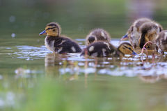 Little duck on the lake. Little ducklings swimming in Forest Lake, Mallard, the new generation Stock Photo