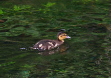 Little duck on the lake Stock Photo