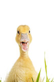 Little duck with open mouth in green grass Stock Photos