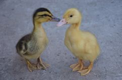 Little duck's Royalty Free Stock Image