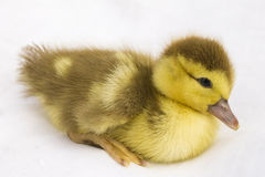 The little duck . Royalty Free Stock Photos