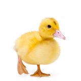Little duck Royalty Free Stock Images