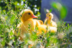 Little duck Stock Photos