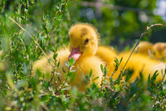 Little duck Stock Photo