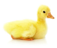 Little ducking isolated on a white background Royalty Free Stock Photos