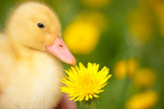 Little duckling Stock Photo